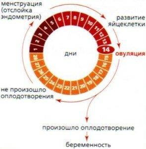 Ежемесячный цикл