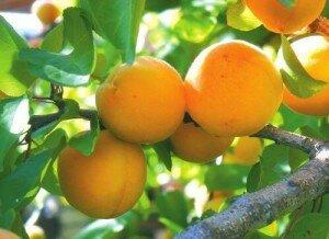 Смола абрикоса