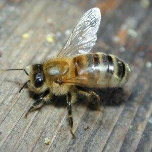 Укус пчелы как средство от липомы
