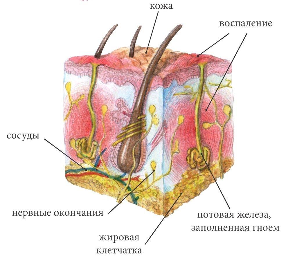 Строение потовой железы